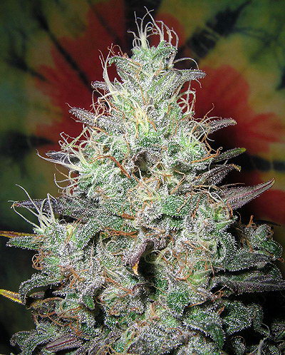 Blueberry-x-Northern-Lights-Marijuana